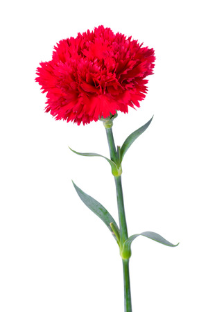stalk: Beautiful single red Carnation flower isolated on white background
