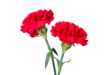 red  carnation: Beautiful red Carnation flowers isolated on white background