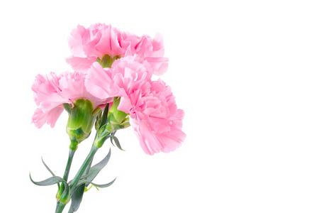 Piękne różowe kwiaty goździków na białym tle z miejsca kopiowania