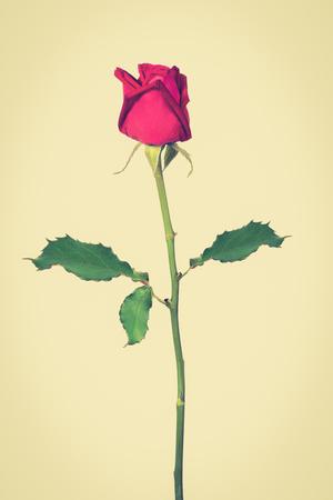 tone: Beautiful red rose, vintage tone