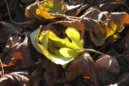 Green leaf amongst a pile of dry autumn foliage