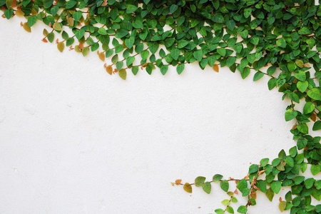 creeper: The Green Creeper Plant on wall Stock Photo