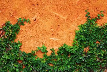 wall ivy: La planta de enredadera verde en la pared Foto de archivo