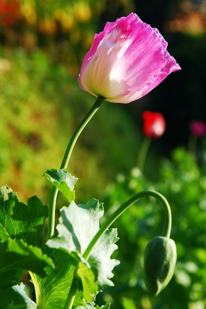 opiate: Opium poppy flower