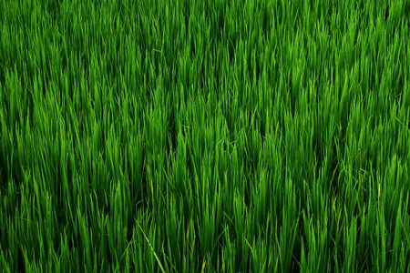 Background Green rice field thailand photo