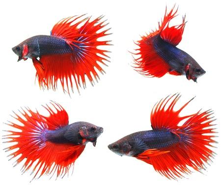 Fighting fish  Stock Photo - 11820148