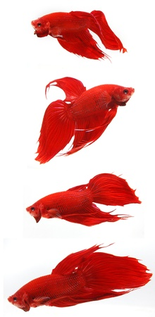 Fighting fish Stock Photo - 11820125
