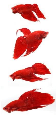 Fighting fish  photo