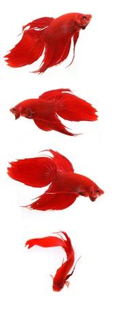 pez pecera: La lucha contra los peces Foto de archivo