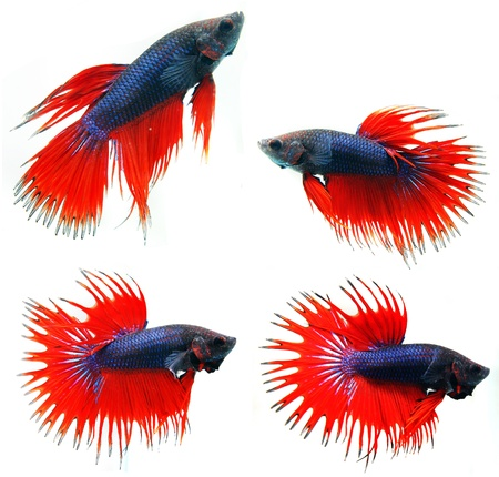 Siamese fighting fish ( Betta Splendens ), isolated on white background  Stock Photo - 12009186