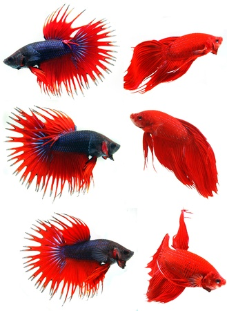 Siamese fighting fish ( Betta Splendens ), isolated on white background  photo