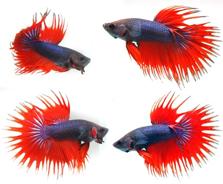 betta: Siamese fighting fish ( Betta Splendens ), isolated on white background