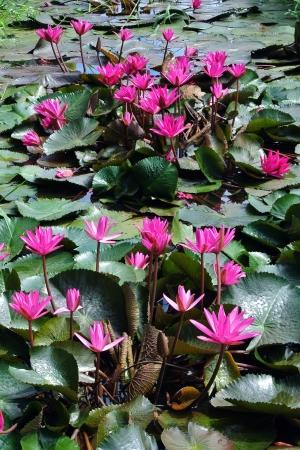 lirio acuatico: Flores de loto rosa o flores de nenúfar en el estanque