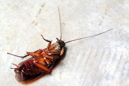 Dead Cockroach isolated on floor photo