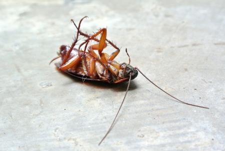 Dead Cockroach isolé sur rez-de-