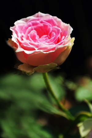 Beautiful pink rose in a garden Stock Photo - 16160992