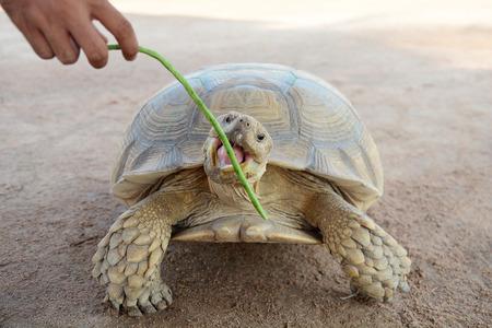 turtle bean: Turtle eating Yard Long bean Stock Photo