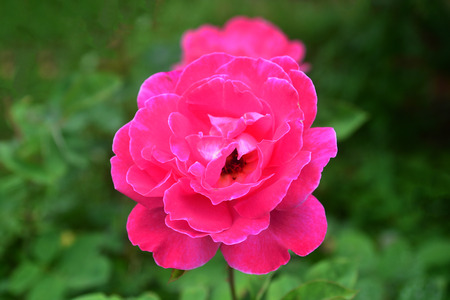 Beautiful pink rose in the garden Banque d'images