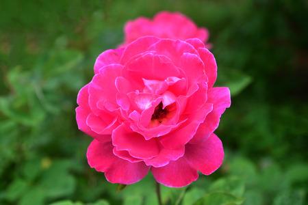 Belle rose dans le jardin