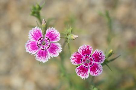 william: Sweet william flower Stock Photo