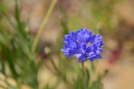 Bleu vif maïs fleurs sur le terrain en été à un Sunny Day - point de mise au point sélective Banque d'images
