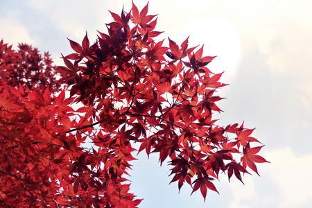 Belles feuilles rouges avec fond de forêt