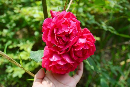 Femme tenant la main des roses rouges Banque d'images