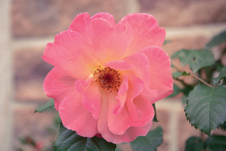 Pink Rose Blooming dans un jardin