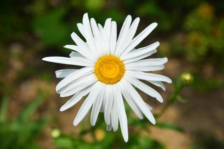 Belles fleurs blanches de chrysanthème sur fond vert