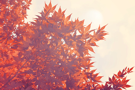 Red leaves in autumn, Vintage filter Banque d'images