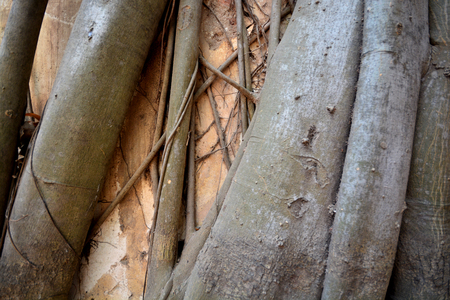 Closeup of roots texture background, old oak tree bark Imagens