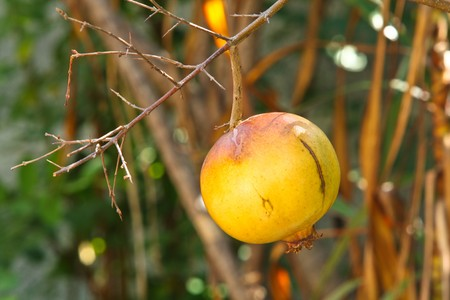 Yellow pomegranate. photo