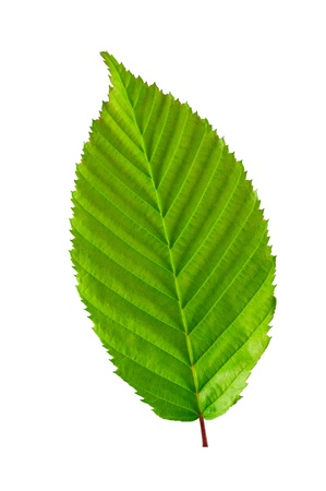 Green leaf Stock Photo - 13726325