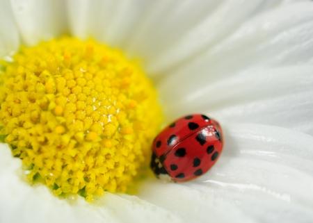 Ladybug on white flower photo