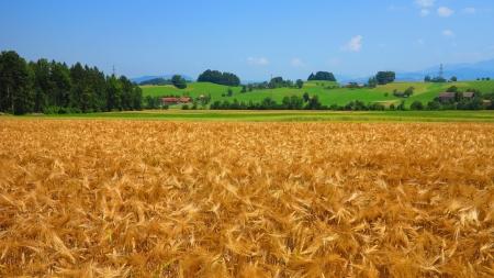 golden field photo