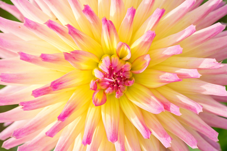 bushy plant: close up of a dahlia flower background Stock Photo