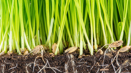 crosscut: oat grass and roots in soil cross-cut section