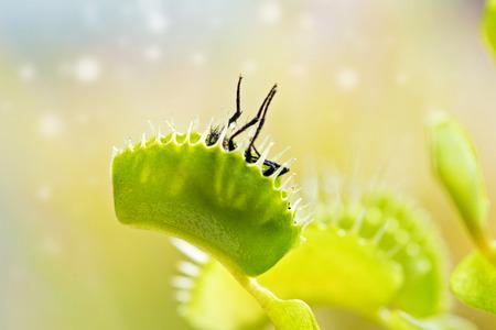 ハエトリグサ (ハエジゴク) ハエを食べるします。 写真素材