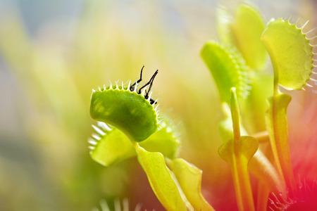 Venus flytrap (dionaea muscipula) eating a fly. Фото со стока