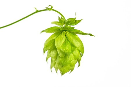 close up of Fresh green hops Banco de Imagens - 31279868