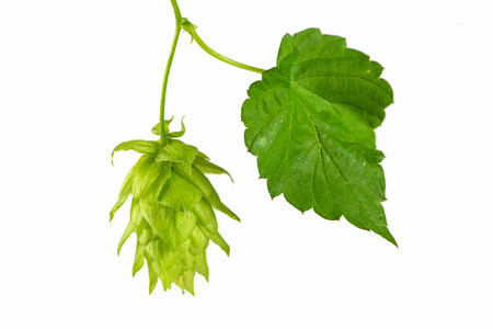 common hop: close up of Fresh green hops