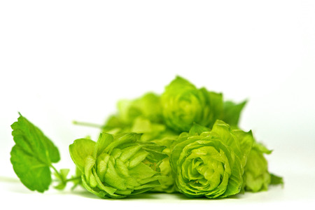 lupulus: close up of Fresh green hops