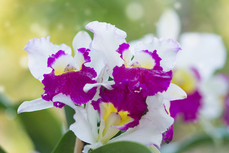 Cattleya Orchids on blurry background photo