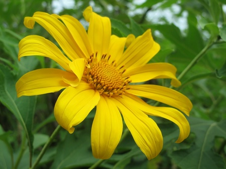 Mexican sunflower in Thailand Stock Photo