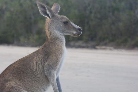 Kangaroo looking for food at the first sunrise in the morning.