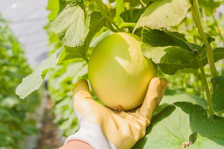 Hand, die grüne Melone im Gewächshaus hält