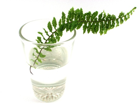 fern in glass on water isolate photo