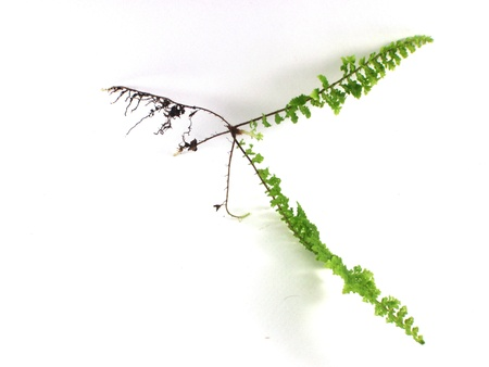 Green leaf of fern isolated photo