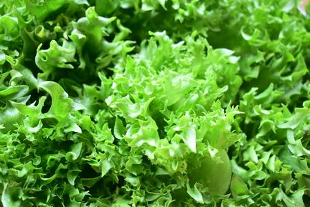Frillice iceberg plant organic salad vegetables.