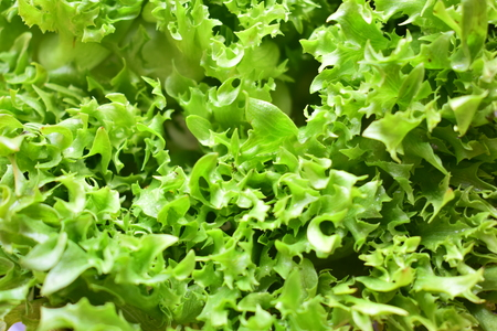 Frilly iceberg is used to make salads and side dishes.